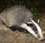 Photo of badger for Your Expert Witness story