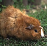 Photo of Barnet the Guinea Pig for Your Expert Witness story