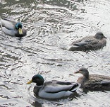 Picture of ducks for Expert Witness wildlife story