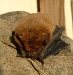 Photo of a pipistrelle for Your Expert Witness story