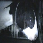 A frame from the footage of horses being mistreated for Your Expert Witness story