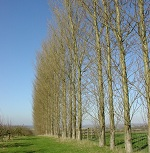 Picture of poplar trees by Dave Bushell for Your Expert Witness story